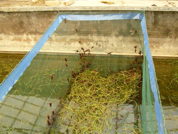 小龙虾从20年前的稻田一害到现在的舌尖美味